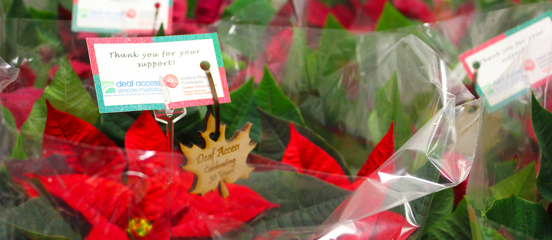 Poinsettias for the Holidays!
